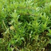 Abbildung der Thymian Pflanze