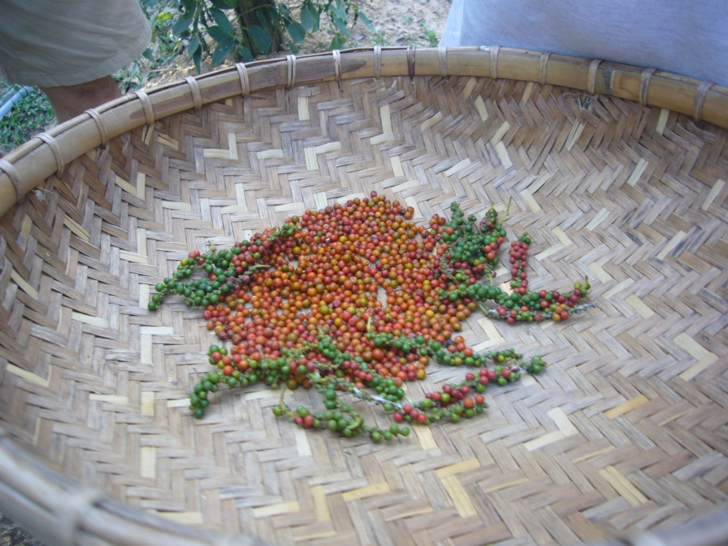 Anbau von Kampot-Pfeffer