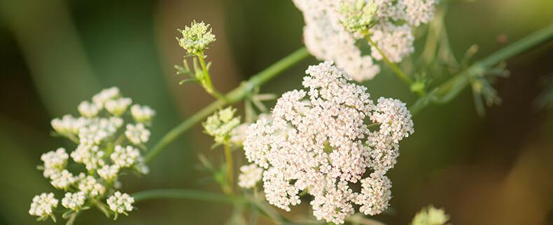 Cumin Pflanze