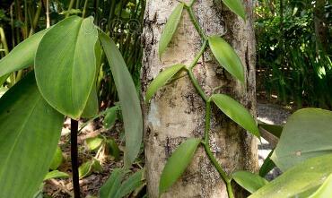 Vanillepflanze um Baum gewickelt